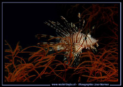 A Lion Fish in a Gorgognia in the waters of the Red Sea..... by Michel Lonfat