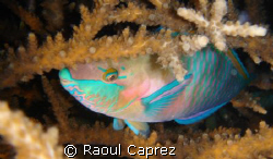 Sleepy parrot fish by Raoul Caprez