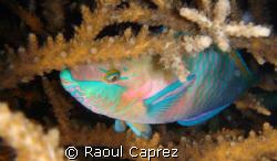 Sleepy parrot fish by Raoul Caprez