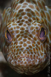 Honeycomb Cod giving me the evil eye.  Ningaloo Reef, Wes... by Ross Gudgeon
