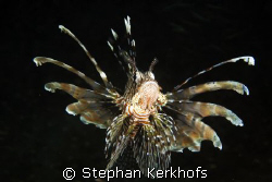 common lionfish (pterois miles) taken in Na'ama Bay. by Stephan Kerkhofs