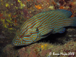 The aptly named Bluelined Grouper (Cephalopholis formosa)... by Brian Mayes