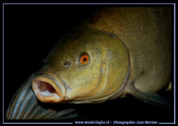 A beautiful Tench on a night dive in our small freshwater... by Michel Lonfat
