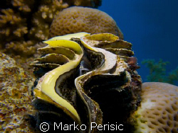 Common Giant Clam. by Marko Perisic