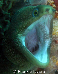 """Time to see the Dentist!!! Goldentail Eel, Dive Site: """"C... by Frankie Rivera"""