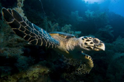 Hawksbill turtle at Big Brother, Egypt. by Dray Van Beeck