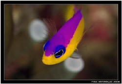 Portait of a Purpletop dottyback     D200/105VR by Yves Antoniazzo