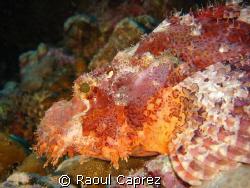 Scorpion fish (scorpaenopsis venosa) by Raoul Caprez