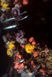 Mirror image of a needle fish among the colourful, sponge... by Erika Antoniazzo