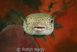 """""""Smile Please!"""" Black-spotted Porcupinefish,  (Diodon hy... by Robin Nagy"""