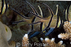 Banggai Cardinalfish, D2X, 60mm by Larry Polster