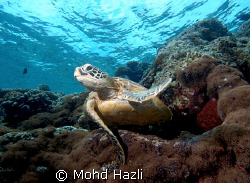 Fly away turtle. The magnificent of Pulau Sipadan. by Mohd Hazli