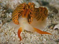 Moridilla brockii.  Ningaloo Reef, Western Austraia.  Can... by Ross Gudgeon