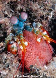Mantis Shrimp with eggs Lembeh Strait 2008 Nikon D200 ,... by Marchione Giacomo