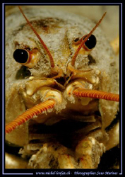 Face to face with this beautiful Cray Fish in a small fre... by Michel Lonfat
