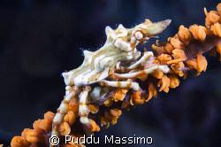 xenocrab nikon d2x 60mm macro by Puddu Massimo