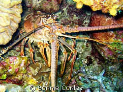 Lobster seen at Grand Cayman August 2008.  Photo taken wi... by Bonnie Conley