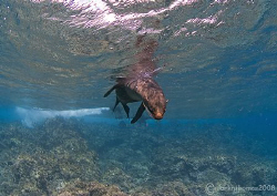 Inquisitive sealion. Cape Marshall, Galapagos. 10.5mm. by Mark Thomas