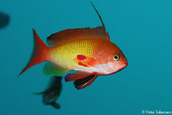 Goldie fish (male) by Victor Tabernero
