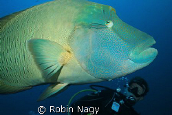 Diver observing a Napoleon Wrasse, Cheilinus undulatus, (... by Robin Nagy