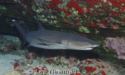 White-tip reef shark at Molokini Crator, Maui. Shot with ... by Lee Newman