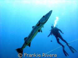 Great Barracuda and my friend Albert.  Desecheo Island, P... by Frankie Rivera