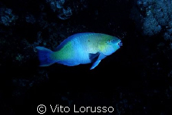 Fishs - Scarus ferrugineus by Vito Lorusso