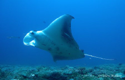 Manta taken on Bikini Reef, Sodwana Bay. by Allen Walker
