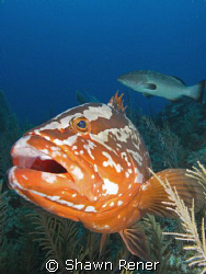 Curious Grouper- Nassau Grouper (Epinephelus striatus)