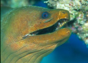 Symbiotic Relationship.  Green moray w/cleaner wrasse tak... by Beverly Speed