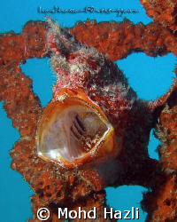 Its a yawning frog fish. It yawn when I just arrived at t... by Mohd Hazli