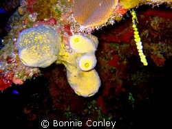 Sponges seen in Grand Cayman August 2008.  Photo taken wi... by Bonnie Conley