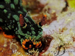Nembrotha Kubaryana, capture by Canon G9 with INON single... by Derrick Lim