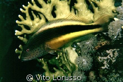 Fishs - Paracirrhites forsteri by Vito Lorusso