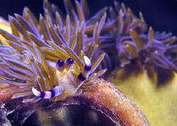 Pteraeolidia ianthina, Bare Island by Doug Anderson