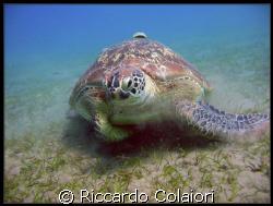 Turtle at Abu Dabbab - Marsa Alam by Riccardo Colaiori