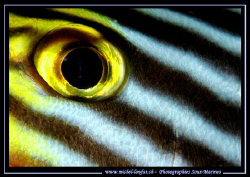 The Eye of a Diagram Fish... :O) ..... by Michel Lonfat