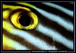The Eye of a Diagram Fish... :O) ..... by Michel Lonfat