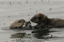 Marine mammals are always a challenge to photograph.  Sho... by Don Bruschera