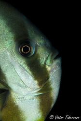 Bat Fish taken at Nebo Wreck by Victor Tabernero