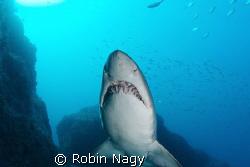 Grey Nurse Shark (aka Raggedtooth or Sandtiger Shark), Ca... by Robin Nagy