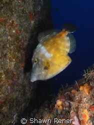 White Spotted Filefish (Cantherhines macrocerus)