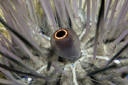 Sea urchin detail by Dray Van Beeck