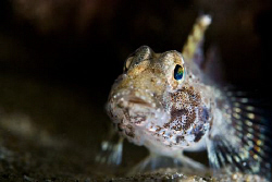 Close up portrait of a blenny.