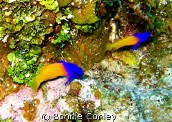 Fairy Basslets seen in Grand Cayman August 2008.  Photo t... by Bonnie Conley
