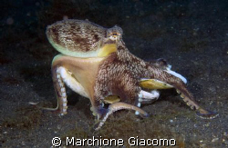 The removal. Octopussy coconut Lembeh strait 2008 Nikon... by Marchione Giacomo