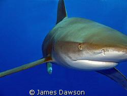 Eye to Eye. Oceanic Whitetip shark at Daedalus reef taken... by James Dawson