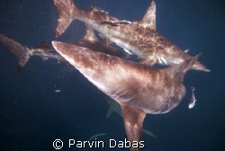 blacktips at shark park,umkomaas,south africa by Parvin Dabas
