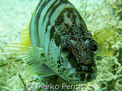 A Painted Comber (serranus scriba)  takes a look into the... by Marko Perisic