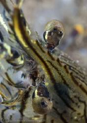 Common prawn. Trefor pier. D200,60mm. by Derek Haslam